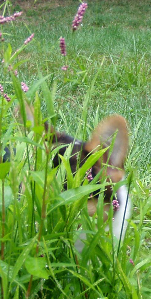Crouching corgi hidden puppy