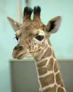 Malia the giraffe