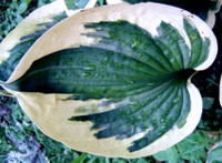Mystery_leaf